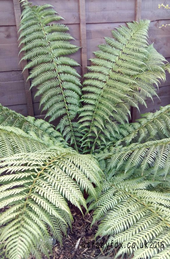 2016 Apr 10 Reaping What You Sow tree fern t r a c y f o x